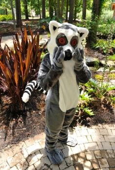 Meet Maky, the newly named mascot for the Duke Lemur Center. Photo by David Haring.
