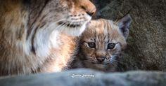 Today I met my first Lynx kitten :-)