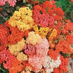 Achillea 'summer berries'