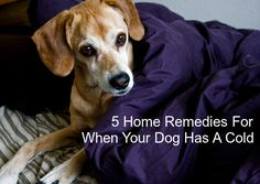 When your dog has a cold, it's important to provide him with the proper care, and home remedies can help with that. If your dog does not have anything serious, and your vet says home care is the best way to go, here are some easy dog cold remedies tohelp get your dog feeling better.