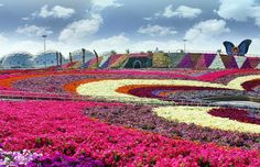 Dubai Miracle Garden features over 45 flower species from all over the world and includes a multitude of shaped archways, flower beds and structures spread over an site. Garden Park, Garden Show, Flower Carpet, Dubai Garden, Miracle Garden, Beach Gardens, Formal Gardens, Garden Features, Large Flowers