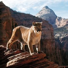 A mountain lion in Zion National Park - 1965. (Ralph Crane—The LIFE Picture Collection/Getty Images)