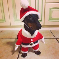 Little Santa Dachshund