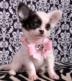 Blue and White Chihuahua pup.I don't even like little dogs , but oh my he's cute  My dog baby is cute just like this one. ;)