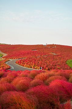 Hitachi Seaside Park, located in Hitachinaka, Ibaraki prefecture, Japan, next to the Ajigaura Beach, is a flower park and a popular tourist destination. The park covers an area of 3.5 hectares and the flowers are amazing all year round.
