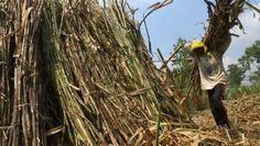 Pemerintah menekan harga gula yang berakibat petani tebu merugi |PT Rifan Financindo Berjangka       Ketua Umum Asosiasi Petani Tebu Rakya...