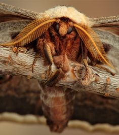 Aliens on Earth: Macro Pictures by Igor Siwanowicz An adult Saturnid moth – Odd Stuff Magazine