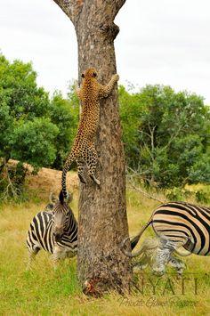 zebra and  cheetah