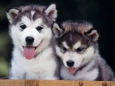 huskies - Google Search