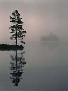 Lone Scots Pine, in Mist on Edge of Lake, Strathspey, Highland, Scotland, UK Photographic Print at AllPosters.com