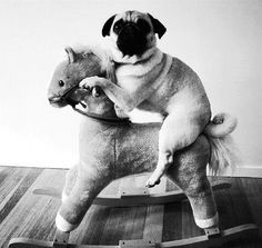 @Amy Lyons Ahopmay. Pug riding a rocking horse! Doesn't get much better than that. @Alison Hobbs Smith it gets NO better then this, oh maybe just a horn to make it a unicorn!
