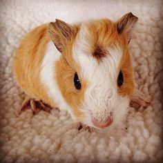 Little 1 week old baby sow - teddy coat with crest. Hamsters, Rodents, Baby Guinea Pigs, Strange Photos, Teddy Coat, Cute, Animals, Guinea Pigs, Animales