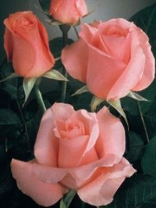 """Sonia"" roses ...we had these beautiful roses at our wedding. ♥ Unfortunately, they are really hard to find now though. :("