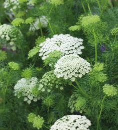 Garden Flowers - Annuals Or Perennials Ammi Visnaga 'White' Is A Slightly Chunkier Form Of Ammi With Dense Yet Delicate White And Green Domed Flowers, Which Make One Of The Best Garden Plants And Filler Foliage Plants You Can Grow. Amazing Gardens, Beautiful Gardens, Beautiful Flowers, Cut Flower Garden, White Plants, Foliage Plants, White Gardens, Plantation, Back Gardens