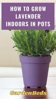 Growing Herbs, Growing Lavender Indoors, Growing Plants Indoors, Best Indoor Plants, Indoor Plants Low Light, Household Plants, Garden Plants, Flowering House Plants, Easy House Plants