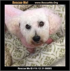 D: 14-12-31-00085Floyd (male)  Bichon Frise  Age: Adult  Compatibility:Good with Most Dogs, Good with Most Cats Personality:Average Energy, Average Temperament Health:Neutered, Vaccinations Current  Floyd is a male Bichon Frise who was born about 1/2010. He is neutered and up to date on shots. He gets along with other dogs and cats. Floyd was thrown out by his family and is now looking for a family that can commit to give him love and safety for the rest of his life.   ...