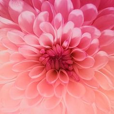 Chrysanthemum flower with beautiful hues of pink and peach