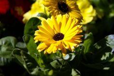 Kouzelné bylinky - Měsíček lékařský