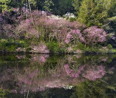 Looks like the Redbud trees are in full bloom...decorating this lake's edge!  This is so lovely, Anne!  Love it!  Fave!