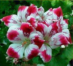 Very pretty! Regal pelargoniums!