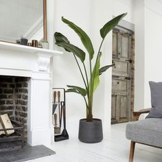 Nicolau our Strelitzia Nicolai is the perfect plant for beginners and busy Londoners. Learn more about the White Bird Of Paradise & buy online from Patch. Banana Plant Indoor, Banana Plants, Large Indoor Plants, Birds Of Paradise Plant, Ficus Elastica, Interior Plants, Diy Garden Decor, Artificial Plants, Home Living Room