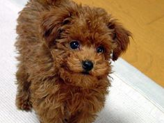 Teddy Bear dog...a must have under my tree!! :-) Oh wait, I dont have a tree.  Just leave it by the wreath! LOL
