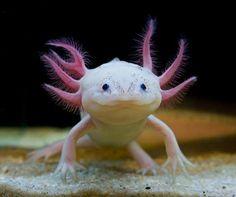 Axolotl (Ambystoma mexicanum) Aka: Smiling Underwater Salamander