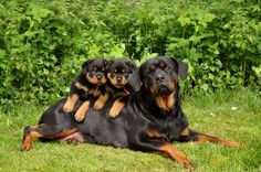 Moeder rottweiler met haar zoon en dochter