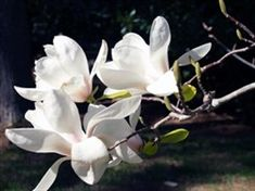 soulangeana 'Lennei Alba' x M. Big white flowers, with a little pink at the base. Magnolia Store, Magnolia Branch, Big White Flowers, Planting Flowers, Flowering Plants, Floral, Garden Ideas, Nursery, Shrubs