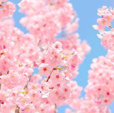 I like cherry blossoms