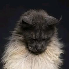 Funny Cute Cats, Cute Funny Animals, Funny Animal Pictures, Beautiful Cats, Animals Beautiful, Cat Species, Maine Coon Cats, Cute Creatures, Cool Pets