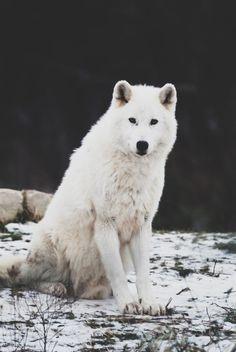 I want a Husky Wolf Spirit, My Spirit Animal, My Animal, Animal Jam, Arktischer Wolf, Wolf Love, Wolf Pup, Beautiful Wolves, Animals Beautiful