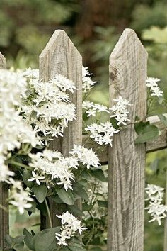 Clematis on fence.a FAVORITE of mine.hardy, beautiful and it smells SO goodAutumn Clematis on fence.a FAVORITE of mine.hardy, beautiful and it smells SO good Beautiful Gardens, Beautiful Flowers, Rare Flowers, Sweet Autumn Clematis, Rustic Fence, Wooden Fence, Brick Fence, Pallet Fence, Metal Fence