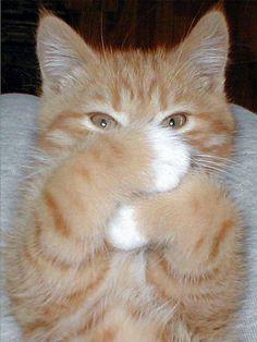 Mitted ginger kitten