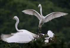 Egrets frolic in the Tieshansi National Forest Park  in Xuyi, China.