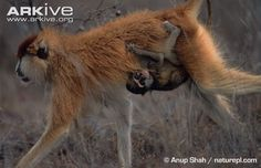 Patas monkey carrying young