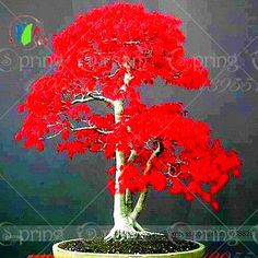 Hot Selling high quality  10pcs japanese Maple Tree Seeds Bonsai Plants DIY Home Garden japanese flower seed Free Shipping