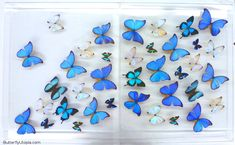 Butterfly grouping - 18x28 (2 cases) - 1,299.00 - ButterflyUtopia