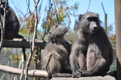 Baboons provide food for other creatures by dropping or discarding food as they feed. Other creatures scavenge on the leftovers. Their strength and dexterity allows them to dig up roots and tubers which are not often accessible to smaller creatures so they make food available to other animals Baboon, Kangaroo, Food To Make, Roots, Strength, Creatures, Animals, Baby Bjorn, Animales