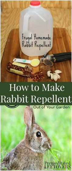 Learn how to make Rabbit Repellent using this DIY rabbit deterrent recipe. You can deter rabbits naturally with this organic rabbit repellent recipe! Easy, low-cost alternative to store-bought bunny repellent. This homemade rabbit repellent uses common pantry staples like garlic, red pepper flakes, and dish soap.