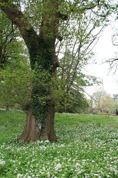 Wild garlic in the gardens around Blarney Castle