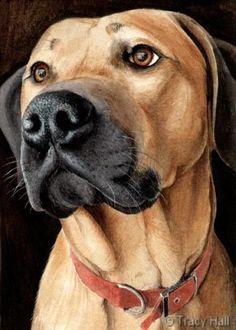 rhodesian ridgeback pet portrait by tracy hall