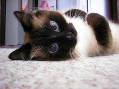 Siamese Cat. They have such gorgeous eyes.