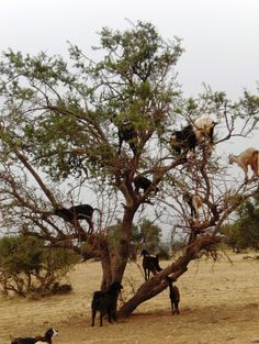 What Are These Goats Doing In Trees?