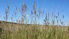 Poa pratensis plant1 (7398746202) - Poa pratensis - Wikipedia Vatican, Nature, Plants, Travel, Naturaleza, Viajes, Destinations, Vatican City, Plant