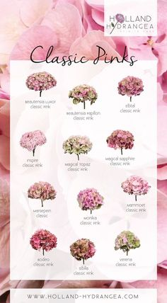 Amazing Classic Pinks Holland Hydrangea share the beauty of Dutch Hydrangea! www hollandhydrangea com is part of Hydrangea - Types Of Flowers, Love Flowers, Colorful Flowers, Beautiful Flowers, Wedding Flowers, Hortensia Hydrangea, Hydrangea Garden, Hydrangea Colors, Hydrangeas