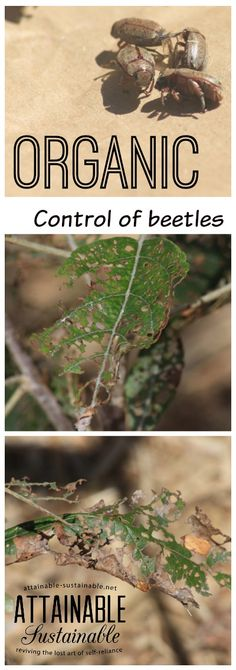 Chinese rose beetles and Japanese beetles can wreak havoc in a hurry. Here's one way to eliminate them from your garden.