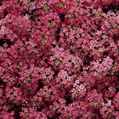 5,000  Alyssum Seeds Easter Bonnet Deep Rose
