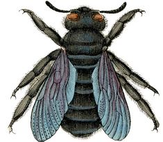 Click on Image to Enlarge This fabulous Antique Bee image is from a Circa 1843 Natural History Print! I'll be sharing the whole print at some point, but I wanted to enlarge a couple of the Bees and offer them separately first. This is the second Bee Image that I've posted from this print, he's …