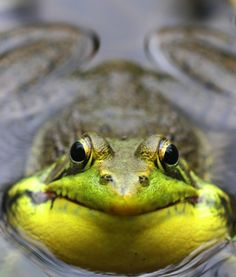Look at that face! He's a green frog (photo from Mary Holland's Naturally Curious blog). Green frogs are the ones whose call sounds like plucked banjo strings.